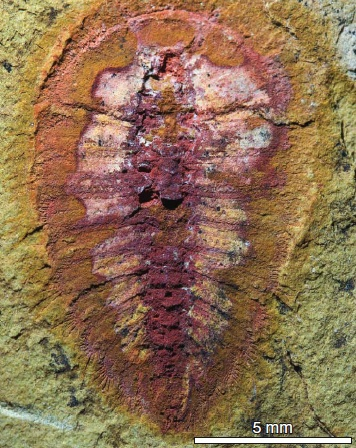 Researchers found more than 1500 fossils of marine creatures, such as this cheloniellid arthropod, that lived nearly 500 million years ago. Photo: Peter Van Roy/Yale University.