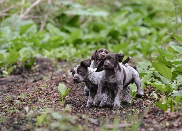 9 Winning Facts About the German Shorthaired Pointer