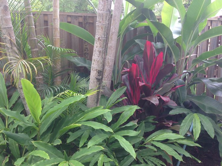 Planting under golden cane palms, cardamon, Heliconia & cordyline rubra for an occasional punch of colour. Garden designed by My Verandah