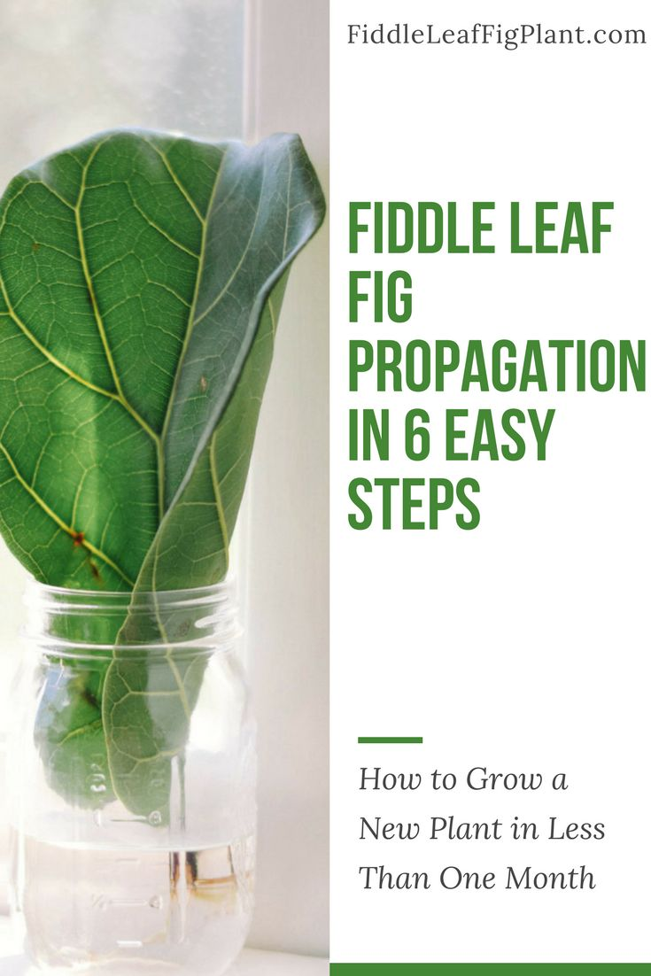 You may be intimidated by propagation, but it's actually easy. You should be pruning your existing fiddle leaf fig tree anyway, so why not try to root a few cuttings in water? It only takes 3-4 weeks for the roots to get started. If they don't take off, you can try again. Done right, propagating your plant allows you the ultimate joy: to grow a brand new plant of your very own from the beginning!