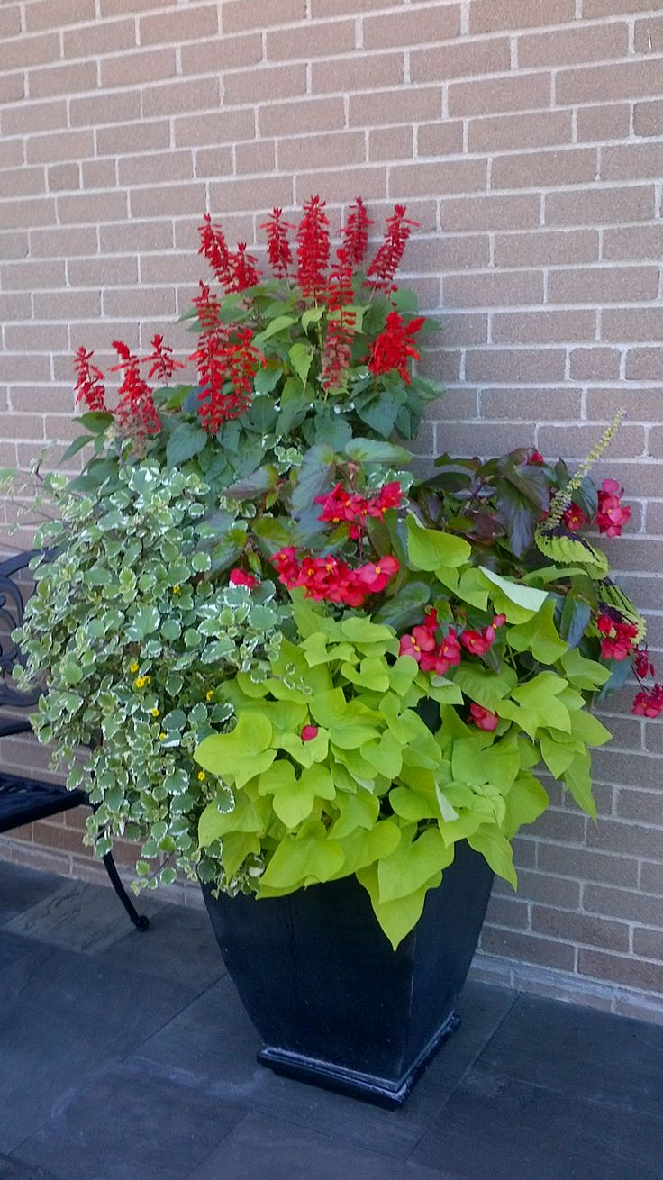 Beautiful Planter With Red Salvia Sweet Potatoe Vine