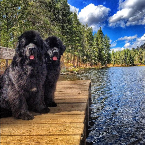Sometimes they pose like humans and it's equally bizarre and adorable. | 21 Stunning Photos Of Newfoundlands And Labradors
