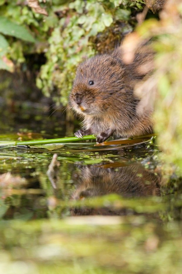 Water_vole_Tom_Marshall.jpg (JPEG Image, 620 × 930 pixels) - Scaled (66%)