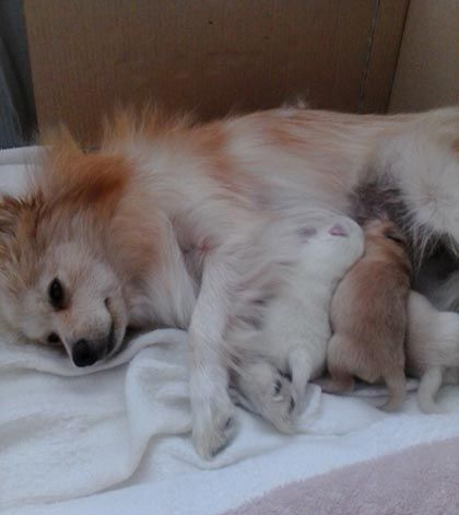 A Pomeranian Rescue Story: Fussims and her babies - Where Mommies of the Pomeranian Dog Breed can gather, socialize and find tips on Treats, Toys and Pomeranian Parenting