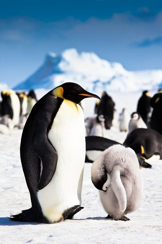 Emperor and Chick, Snow Hill Island, Antarctica