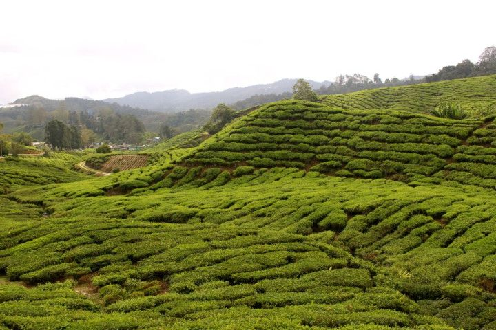 Informative Travel Blog Post About the Cameron Highlands, Malaysia