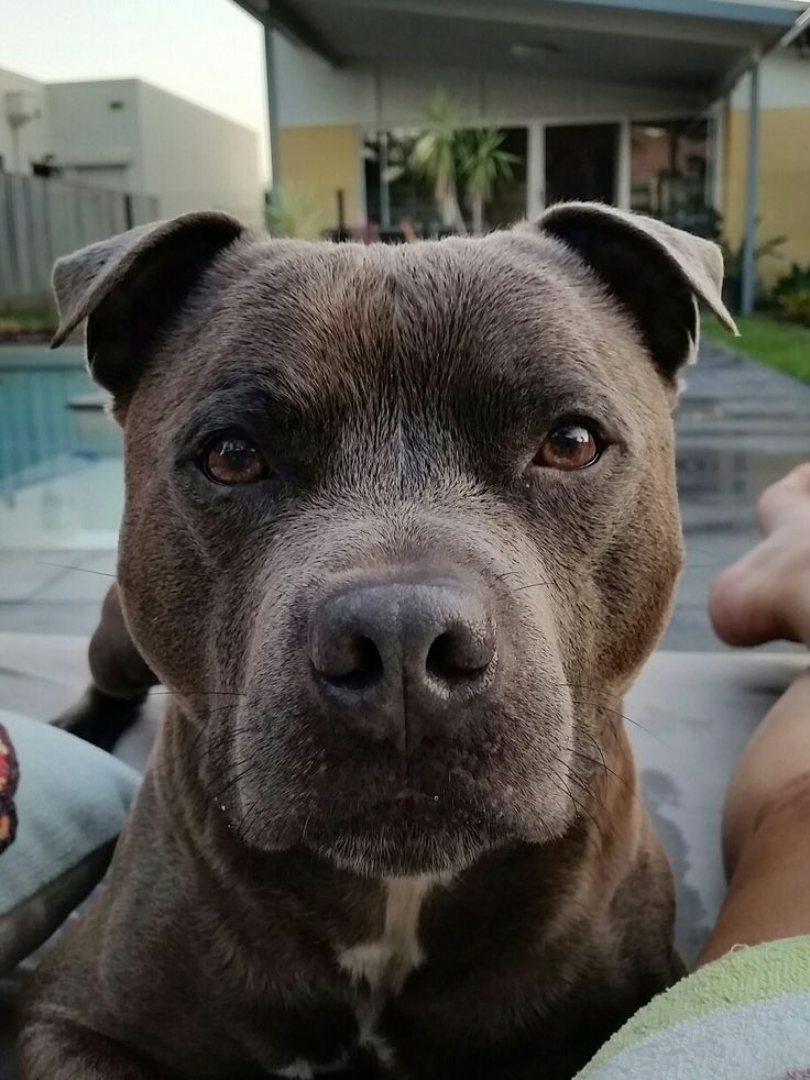 17 Best Images About Storm The Staffordshire Staffy On
