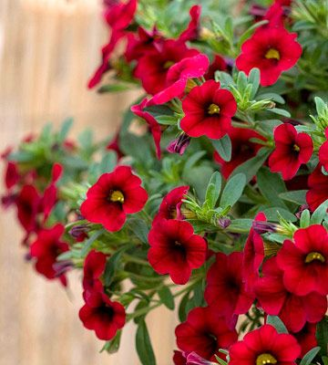 "Calibrachoa-'Million Bells"".  Planted in a wine barrel along with white bacopa (also a trailing plant) & bachelor buttons in blue, white, pink & red.  Hope it looks as good as I think it might!"