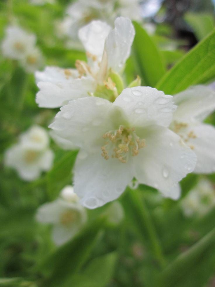 Чаще всего садовый жасмин высаживают как солитер, эффектно смотрятся живые изгороди из него, особенно в период цветения. Правда, это растение отлично смотрится и в соседстве с другими кустами — спиреей, вейгелой, гортензией.