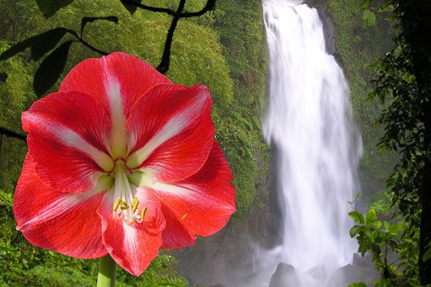 The Trafalgar waterfall of the Caribbean island Dominica and amaryllis flower (Photo: Holger Wulschlaeger/ Shutterstock)