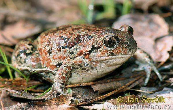 Blatnice skvrnitá (Pelobates fuscus) - drobnější žába, jejíž pulci mnohem větší než dospělí jedinci. Na obranu vylučuje látku, která páchne po česneku (dříve se nazývala b. česneková).
