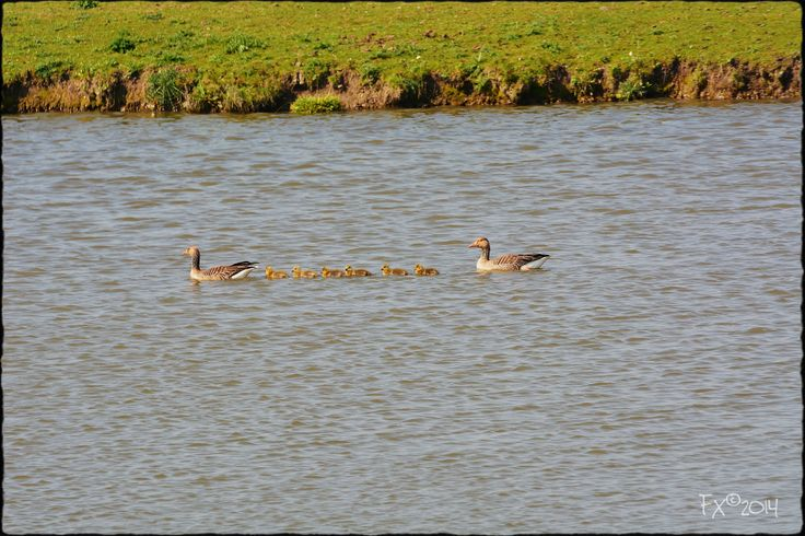 familie gans met kroost Goose family with kids on the water