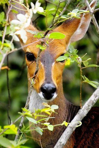 Bushbuck | Arno Meintjes Wildlife