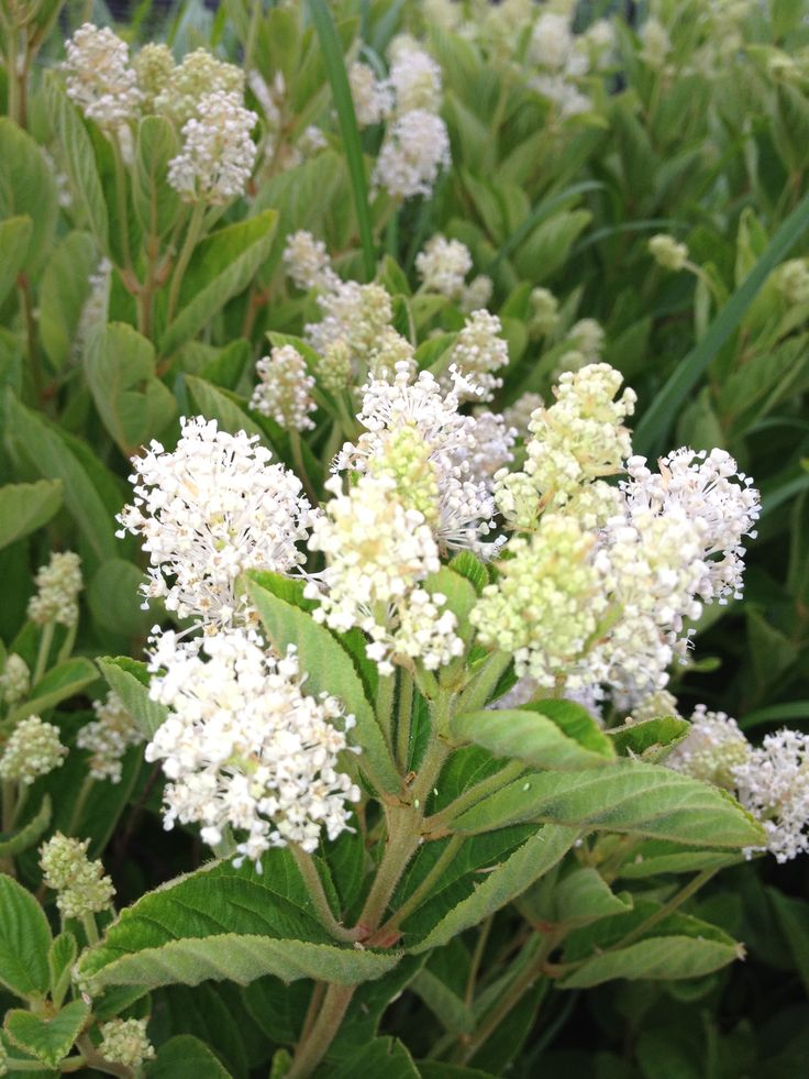 New jersey tea ceanothus americanus stunning native shrub that attracts hummingbirds - Tough perennial bloomers drought insect and pest resistant flowers ...