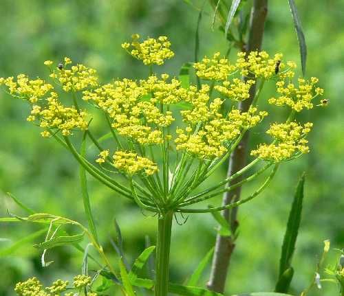 Dangerous! Wild Parsnip causes a severe rash if you touch the sap.