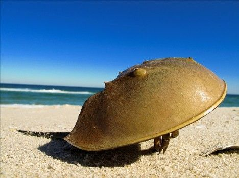 Horseshoe Crabs are jawless, have 5 pairs of legs and 9 eyes. Not bizarre enough? Horseshoe Crabs have blue blood – copper, not iron, is used in their version of hemoglobin: hemocyanin.