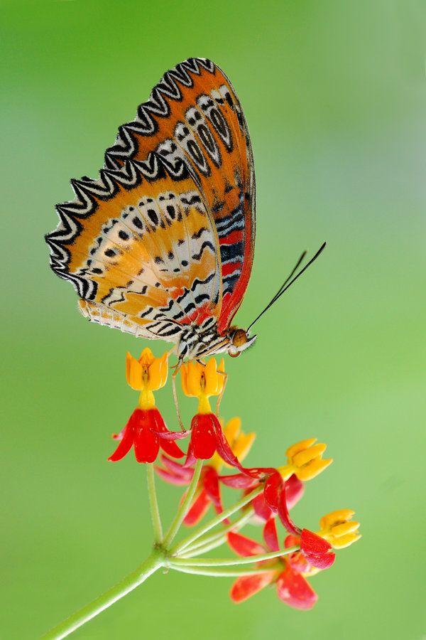 Cethosia biblis perakana ... Batik Lacewing butterfly ... by inckurei