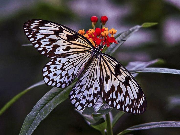 Lepke, pillangó