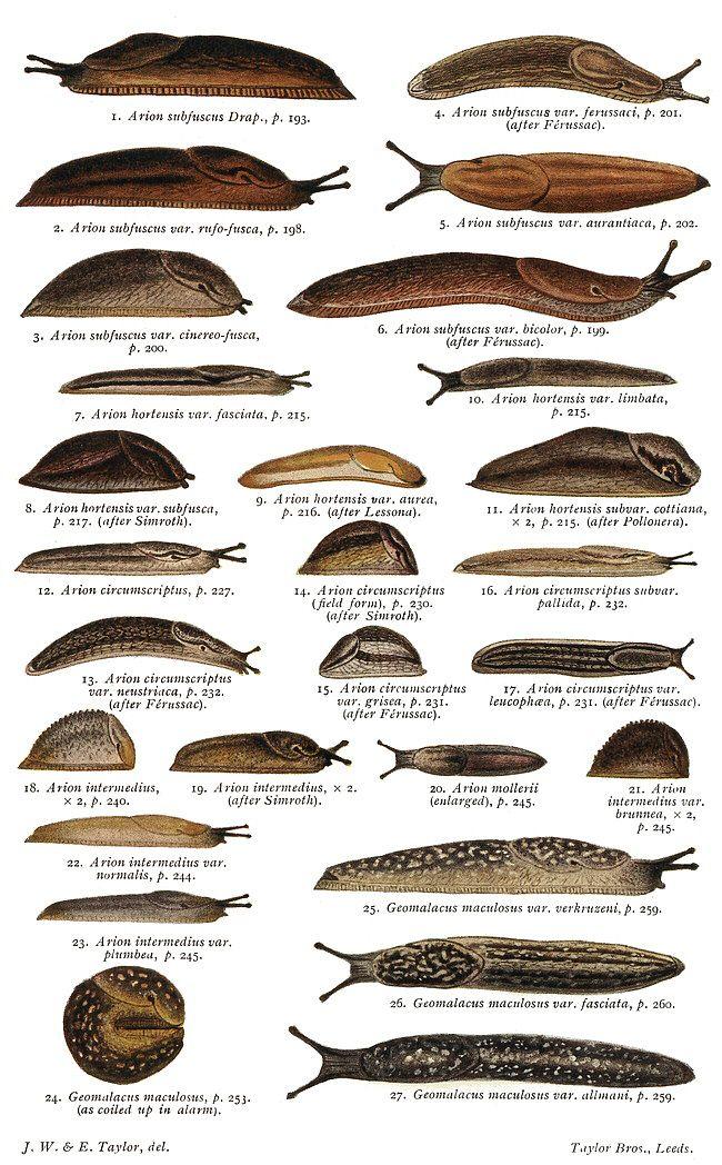 british slugs [primarily arionidae]