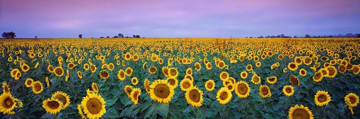 Sunflowers  Toowoomba, Queensland by Peter Lik This was my other choice. I dream of walking through sunflower fields.