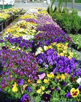 Fiolen (latin: viola) er en typisk vårblomst. Det kryr av fioler i krukker og bed, ikke bare fordi dener billig i innkjøp, men fordi den kommer i all verdens farger. Et gammelt sagn sier at fiolen…