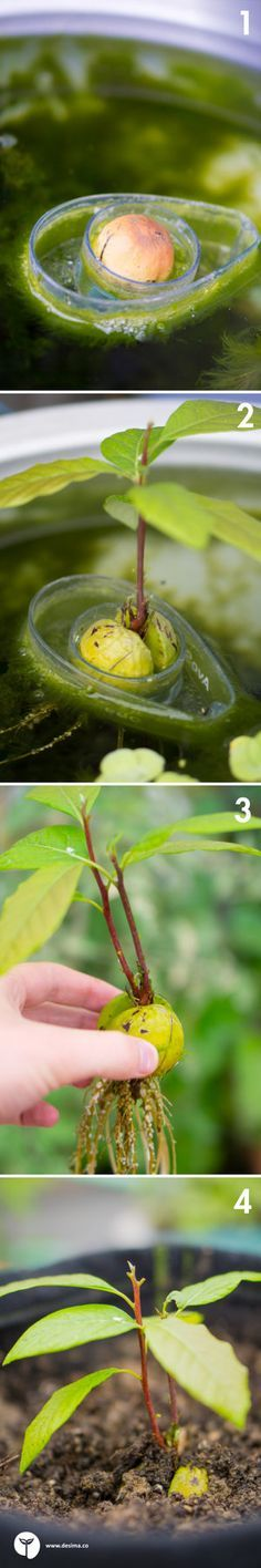 how to grow avocado tree form the seed in fruit