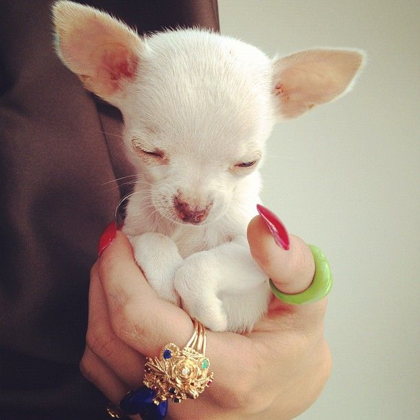 Chihuahua pup with outfit by Rochas and jewellery by Solange Azagury-Partridge. 20th April 2012