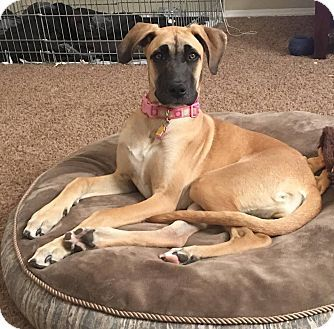 Mesa, AZ - Great Dane Mix. Meet Sunshine, a puppy for adoption. http://www.adoptapet.com/pet/18069035-mesa-arizona-great-dane-mix