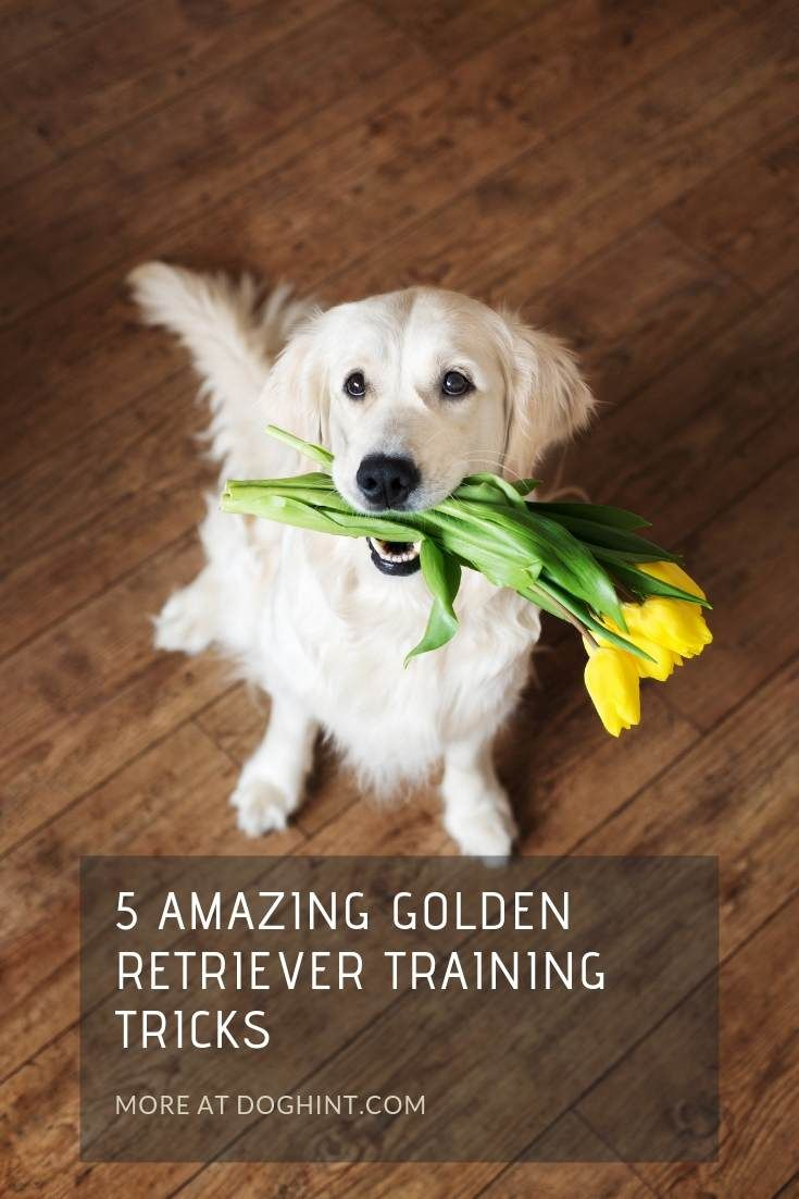 A Dog Shaking Hands One Of The Simplest Golden Retriever