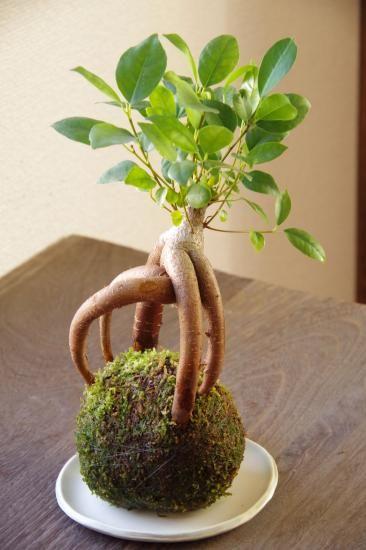 Mini pousse de banian ou ficus !!!