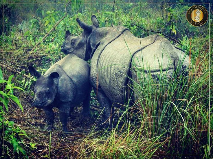 There is no love or devotion like that of a mother for her child. A #rhino calf is born without horn so not the horn but the mother is the protector of the calf. #Chitwan National Park is one of the prime destinations to sight this beautiful species.  Photo Courtesy : Robin Dutta  #wildlifeholiday #wild #barahi #wildlifephotography  #withpugdundee  #safari #safariholiday #vacation
