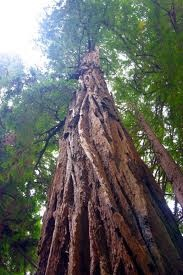 The Redwoods!
