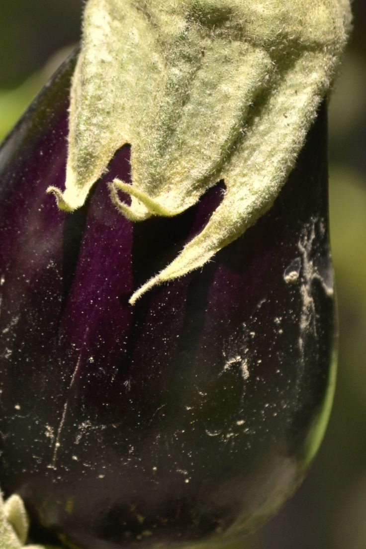 MELANZANA #organic #organica #vegetales #verdura #vegetables #huerta #orto #orchard
