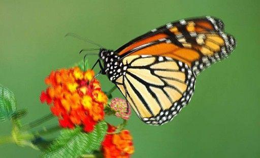 Farfalla, farfalle – Interpretazione dei sognihttp://romoletto.altervista.org/