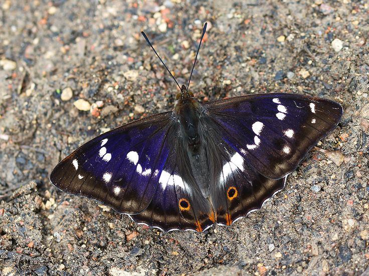 Purple Emperor(Apatura iris) photographed by Charlie Jackson at Finmere Wood, Buckinghamshire, UK on 3rd July 2016.