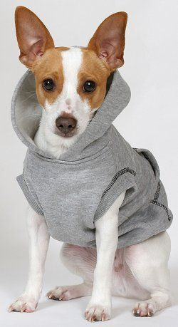 Cutest rat terrier in a sweater. This is an image we enjoy. Hope you enjoy it too - Little Hawk Trading, a favorite eBay store - Clothing & Shoes for LESS - http://stores.ebay.com/Little-Hawk-Trading