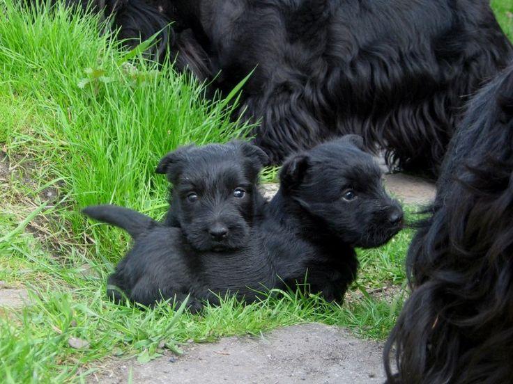 Skót terrier (skót terrier): fajta leírás, tippek és tanácsot választott kölyök gondozása és fenntartása (+ fotók)