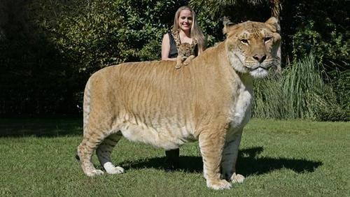 Mi-lion, mi-tigre, c'est un Ligre (sans blague), et c'est le plus gros félin du monde. Une réserve de la vie sauvage des Etats Unis dévoile au reste du monde son ligron (le bébé ligre) de 4 semaines, aux côtés de ...