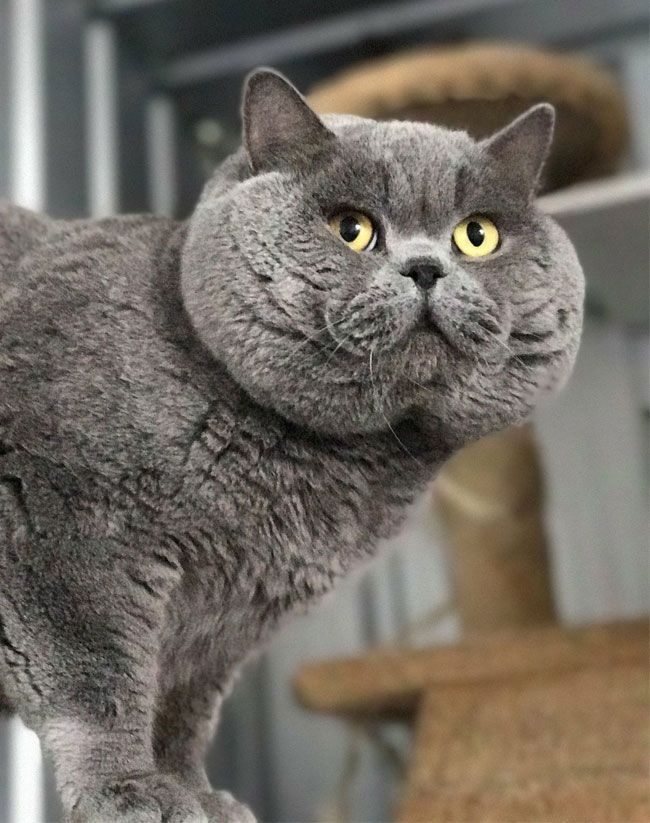 Britisch Kurzhaar Russisch Birmanisch Oder Korat Welche Blaue Katze Ist Das Oaks Am Animale Anim Cat Breeds Russian Blue Cat British Blue Cat