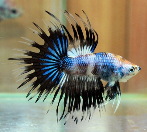 36 best crowntail betta images on pinterest fish tanks for Betta fish together