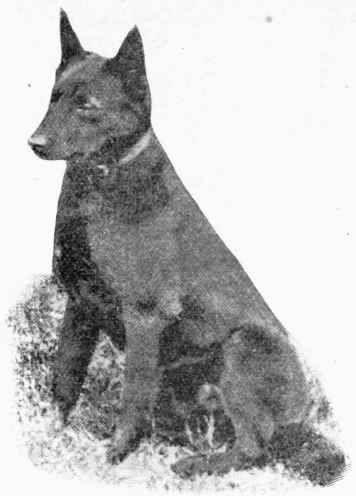 Barb, The Australian Sheep Dog, The Kelpie. She looks just like Billie.