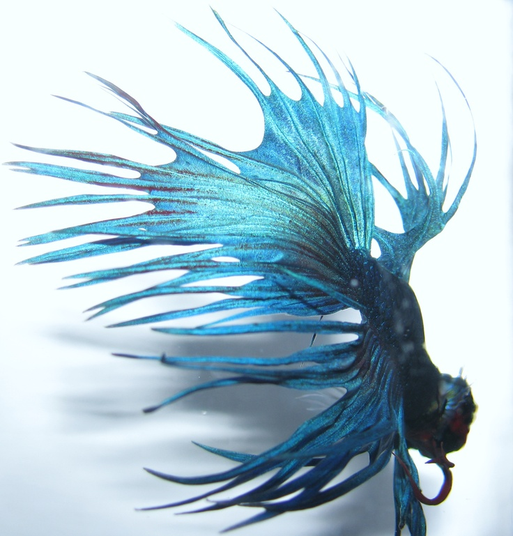 725 best betta fish images on pinterest beautiful fish for Beta fish water
