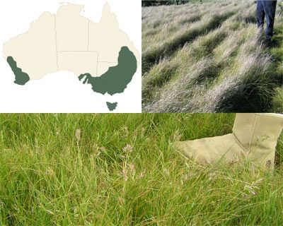 Wallaby grass Oxley - pelletised - Buy Wallaby grass online
