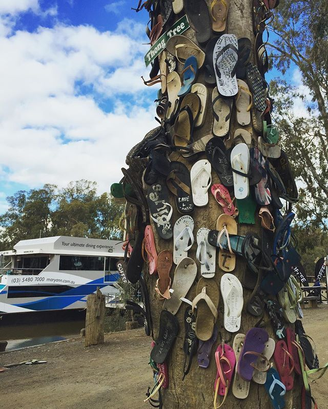 It's still the season for thongs even if it's a bit cooler today in Melbourne, and certainly still thong season across most of Australia! Looks like a few adventurers have opted to go barefoot in Echuca, giving their thongs up to this tree here...thongs of all kinds! Love it! 🤣 #thongtree #echuca #victoria #murrayriver #riverboat #thongs #summer #summerfun #summervibes #visitvictoria #australia #proyager #proyageraus #weekend #weekendvibes #travel #discover #explore #adventure
