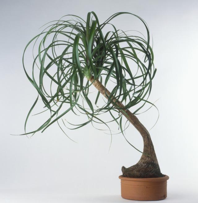 Si no tienes dinero para una escultura, cultiva una de estas plantas: Palmera pata de elefante
