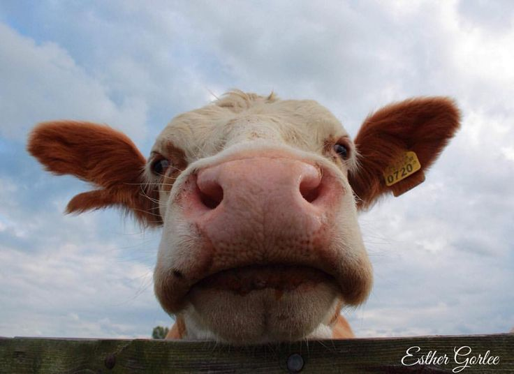 64 vind-ik-leuks, 7 reacties - My first Canon (@my_first_canon) op Instagram: '#photography #canon #cow #koe #farmanimals #netherlands #thisisholland #beautifulholland'