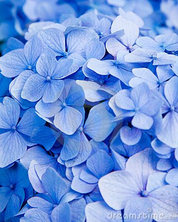 blue hydrengea reminds me of my sisters wedding