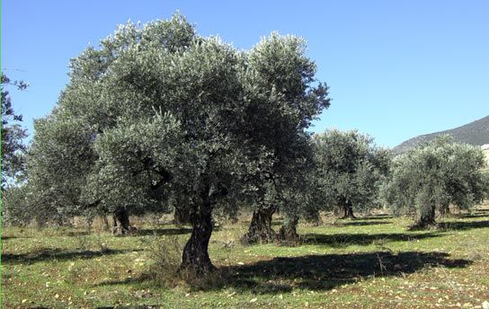 Olive groves similar to those at the Ferme Deux Hommes