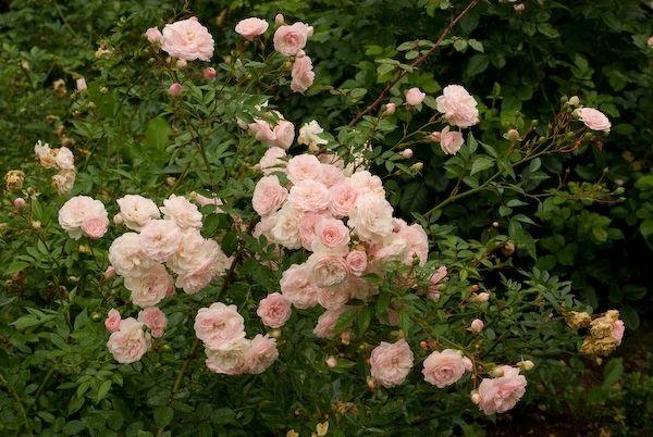 Какой сорт садовых роз лучше выращивать в средней полосе России? Полиантовые розы - самые неприхотливые, практические не требуют укрытия. Имеют мелки цветки 3-5 см в диаметре и небольшую высоту - 40-60 см. Бывают махровые и немахровые. Подходят для бордюров в саду.