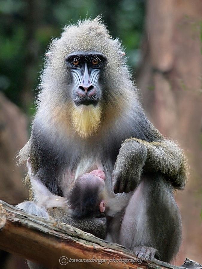 gorilla s monkeysapes